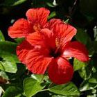 Hibiscus Extract -